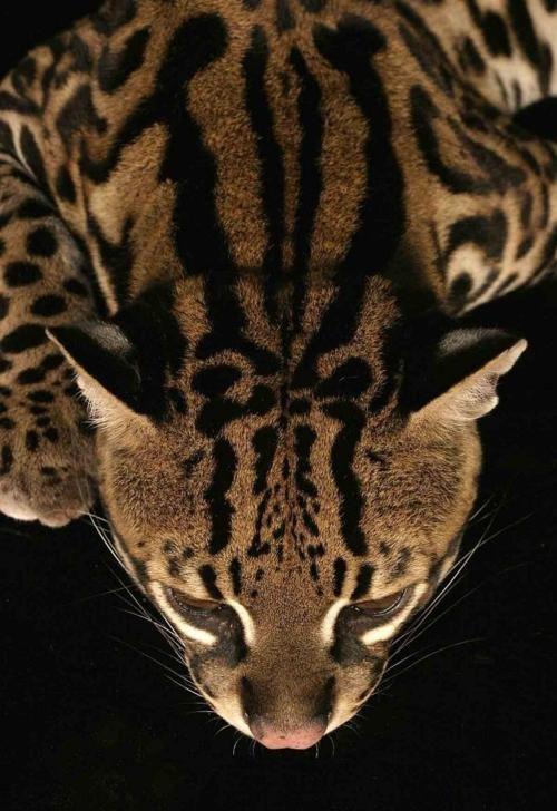 Ocelot ( Leopardus pardalis ) photographer unknown (via story-of-fame)